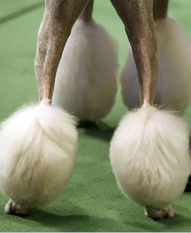 poodle feet